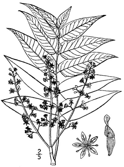 Botanical drawing of the leaves, flowers and samaras from Britton and Brown